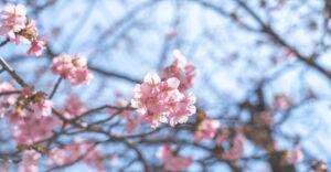 河津桜(カワヅザクラ)が咲き始めました