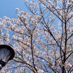 2020年の桜の季節