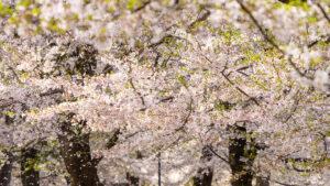 【α7R IV × SEL70300G】2021年の桜の季節